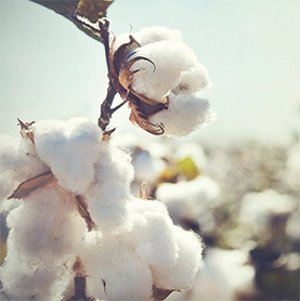 Cotton with a consciencef